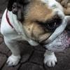 bulldog-871996-640-166231.jpg