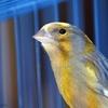 canary-20522-640-151007.jpg