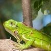 iguana-139406-640-141888.jpg